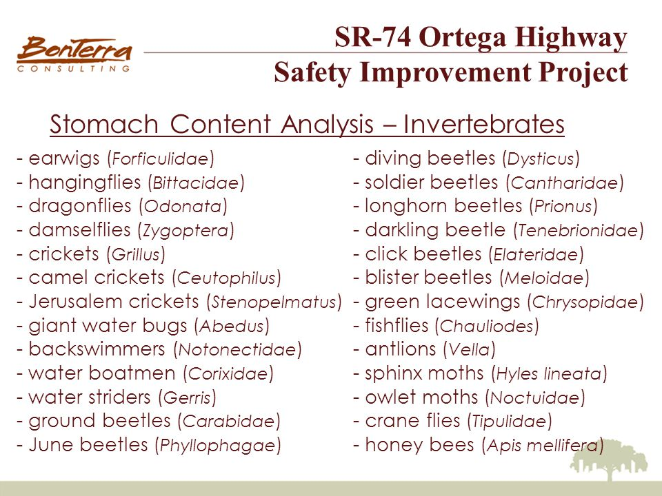 SR-74 Ortega Highway Safety Improvement Project Stomach Content Analysis – Invertebrates - earwigs ( Forficulidae ) - hangingflies ( Bittacidae ) - dragonflies ( Odonata ) - damselflies ( Zygoptera ) - crickets ( Grillus ) - camel crickets ( Ceutophilus ) - Jerusalem crickets ( Stenopelmatus ) - giant water bugs ( Abedus ) - backswimmers ( Notonectidae ) - water boatmen ( Corixidae ) - water striders ( Gerris ) - ground beetles ( Carabidae ) - June beetles ( Phyllophagae ) - diving beetles ( Dysticus ) - soldier beetles ( Cantharidae ) - longhorn beetles ( Prionus ) - darkling beetle ( Tenebrionidae ) - click beetles ( Elateridae ) - blister beetles ( Meloidae ) - green lacewings ( Chrysopidae ) - fishflies ( Chauliodes ) - antlions ( Vella ) - sphinx moths ( Hyles lineata ) - owlet moths ( Noctuidae ) - crane flies ( Tipulidae ) - honey bees ( Apis mellifera )