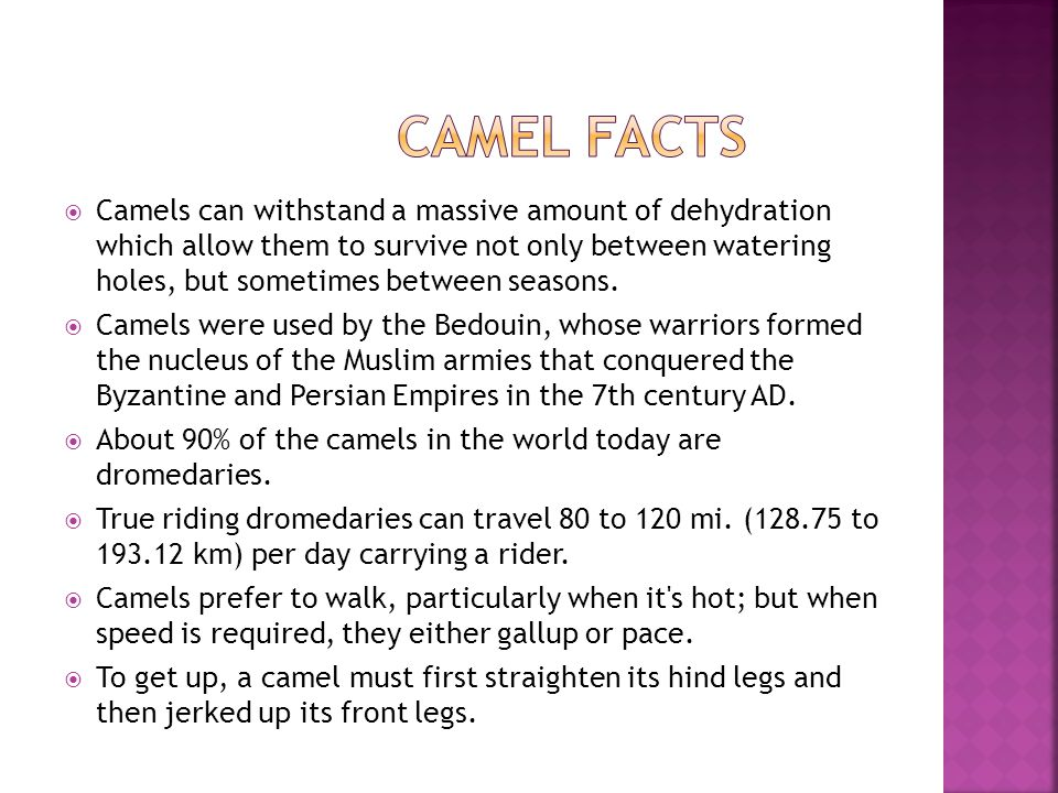  Camels can withstand a massive amount of dehydration which allow them to survive not only between watering holes, but sometimes between seasons.