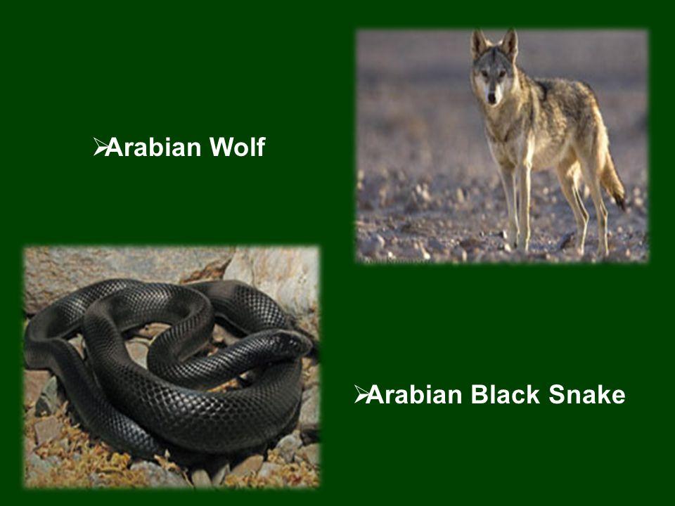  Arabian Black Snake  Arabian Wolf