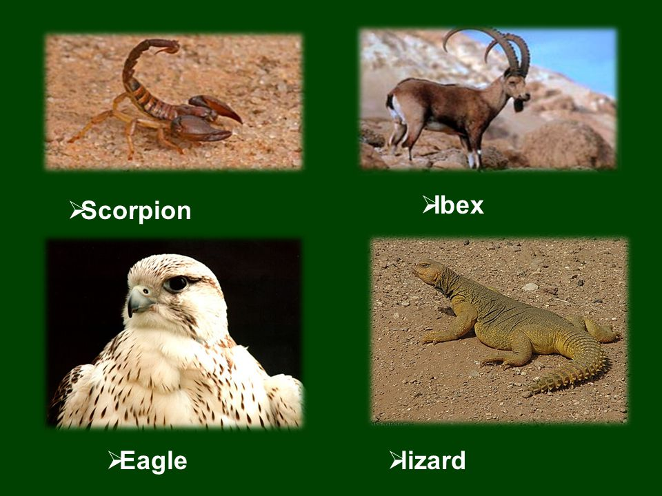  Scorpion  Ibex  Eagle  lizard