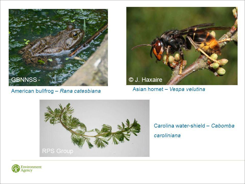 American bullfrog – Rana catesbiana Asian hornet – Vespa velutina © J.