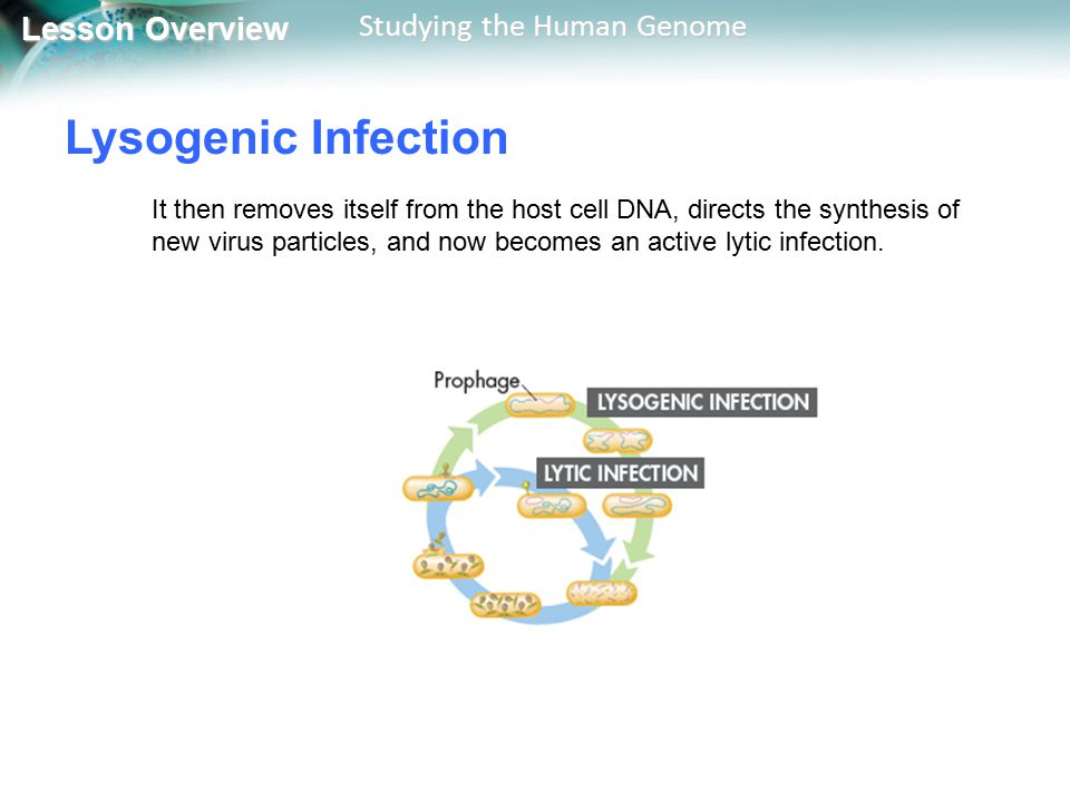 Lesson Overview Lesson Overview Studying the Human Genome Lysogenic Infection It then removes itself from the host cell DNA, directs the synthesis of