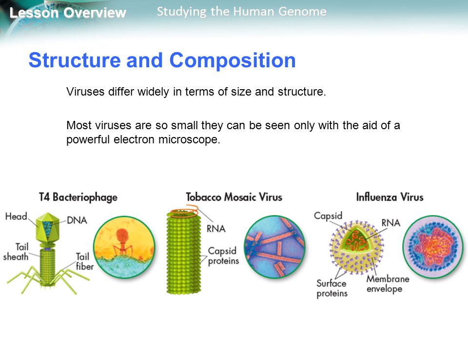 Lesson Overview Lesson Overview Studying the Human Genome Lytic Infections Next, the outlaw demands to be outfitted with new equipment from the local townspeople.