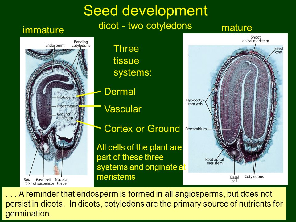 Seed development mature dicot - two cotyledons immature Three tissue systems: Dermal Vascular Cortex or Ground All cells of the plant are part of thes