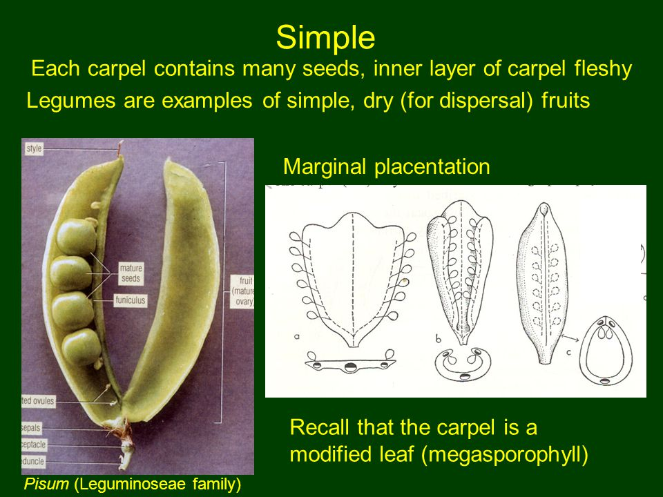 Recall that the carpel is a modified leaf (megasporophyll) Simple Each carpel contains many seeds, inner layer of carpel fleshy Legumes are examples o