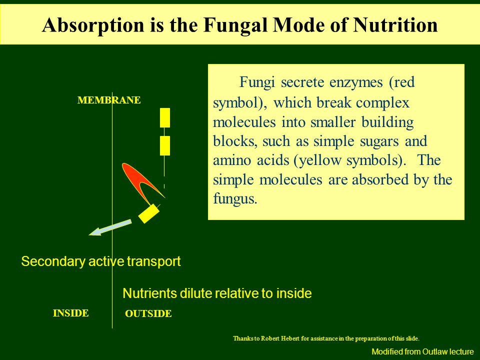 Fungi secrete enzymes (red symbol), which break complex molecules into smaller building blocks, such as simple sugars and amino acids (yellow symbols).