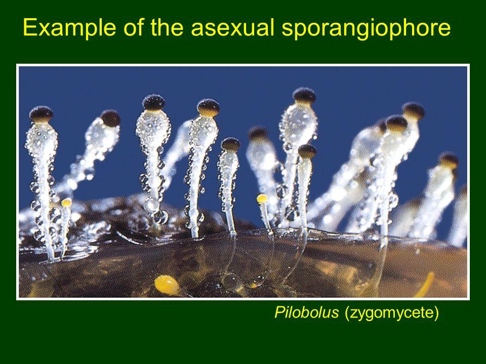 Example of the asexual sporangiophore Pilobolus (zygomycete)