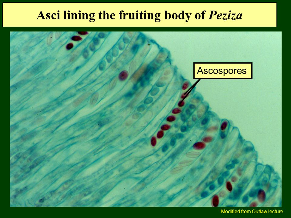 Asci lining the fruiting body of Peziza Ascospores Modified from Outlaw lecture