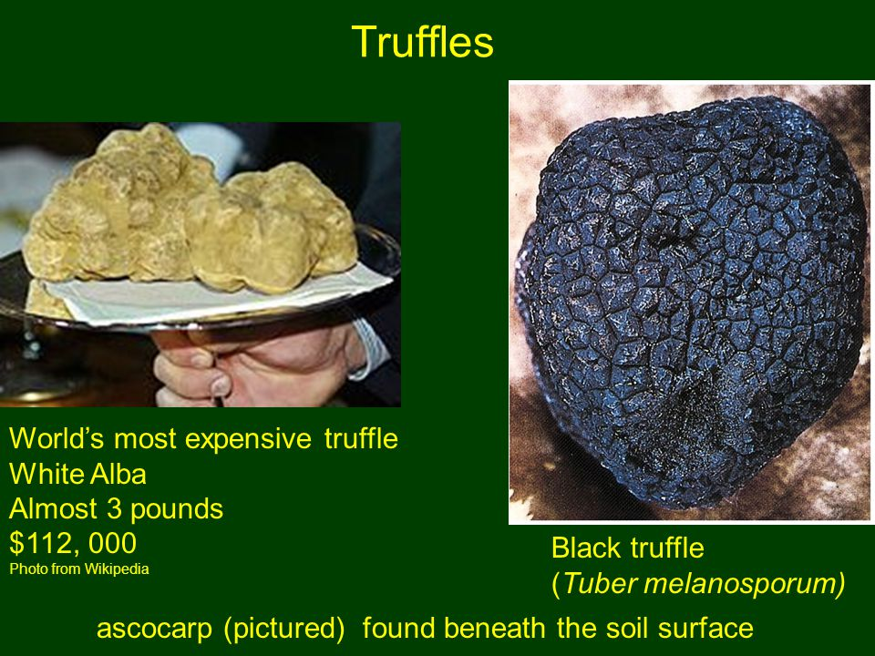 World's most expensive truffle White Alba Almost 3 pounds $112, 000 Photo from Wikipedia Truffles Black truffle (Tuber melanosporum) ascocarp (pictured) found beneath the soil surface