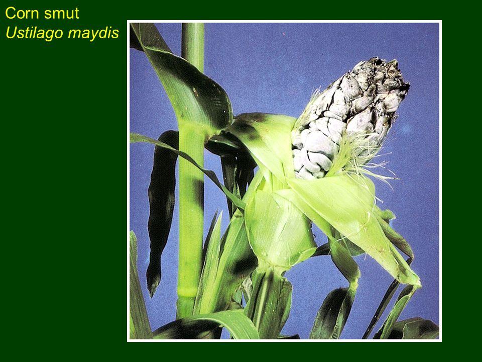 Corn smut Ustilago maydis