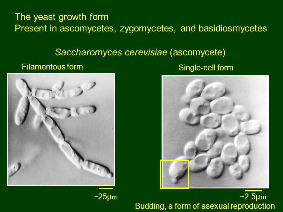 The yeast growth form Present in ascomycetes, zygomycetes, and basidiosmycetes Saccharomyces cerevisiae (ascomycete) Single-cell form Filamentous form