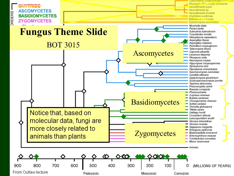 Fungus Theme Slide BOT 3015 Ascomycetes Basidiomycetes Zygomycetes From Outlaw lecture Notice that, based on molecular data, fungi are more closely re