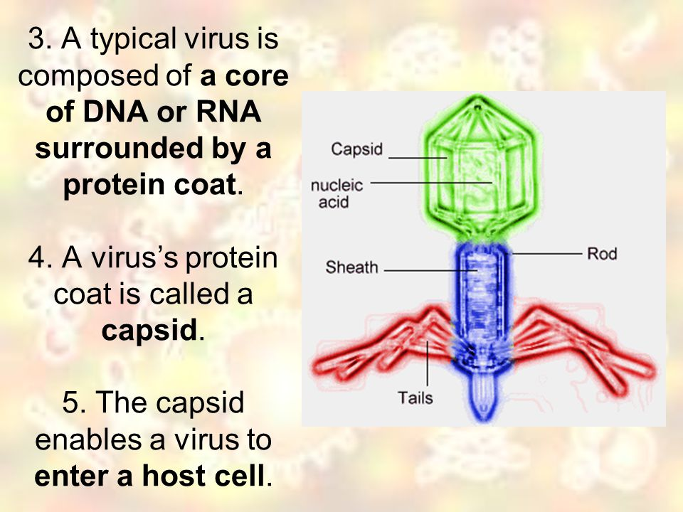 3. A typical virus is composed of a core of DNA or RNA surrounded by a protein coat. 4. A virus's protein coat is called a capsid. 5. The capsid enabl