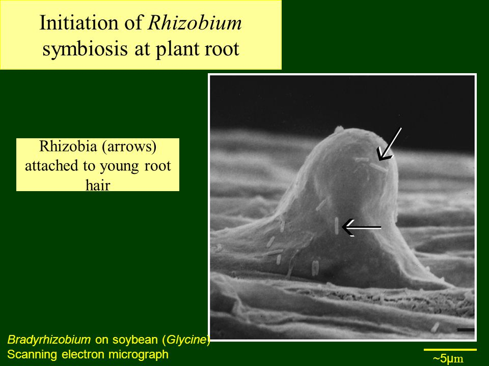 Initiation of Rhizobium symbiosis at plant root Rhizobia (arrows) attached to young root hair Bradyrhizobium on soybean (Glycine) Scanning electron micrograph ~5µ m