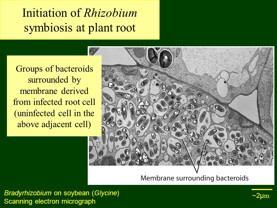 Initiation of Rhizobium symbiosis at plant root Bradyrhizobium on soybean (Glycine) Scanning electron micrograph Groups of bacteroids surrounded by membrane derived from infected root cell (uninfected cell in the above adjacent cell) ~2µ m