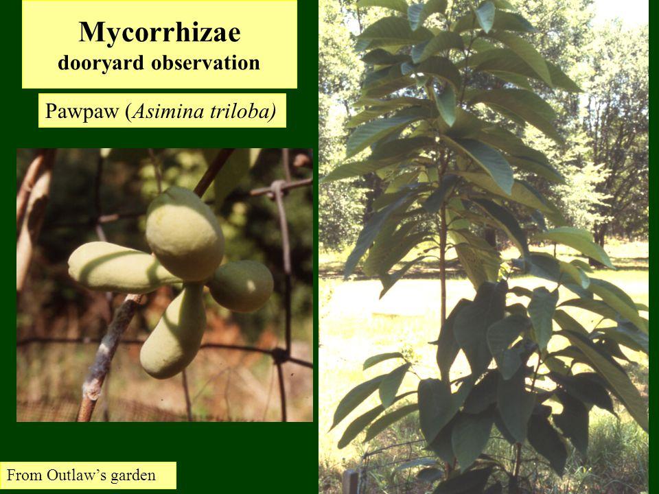 Mycorrhizae dooryard observation Pawpaw (Asimina triloba) From Outlaw's garden