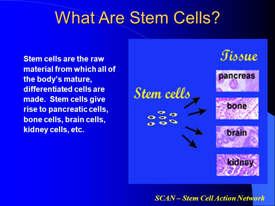 SCAN – Stem Cell Action Network What Are Stem Cells? Stem cells are the raw material from which all of the body's mature, differentiated cells are mad