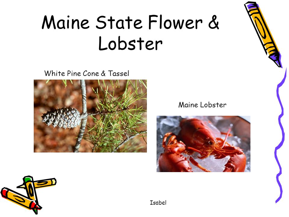 Madi The State Bird & State Flower State Flower is Native Sunflower State Bird is the Western Meadowlark
