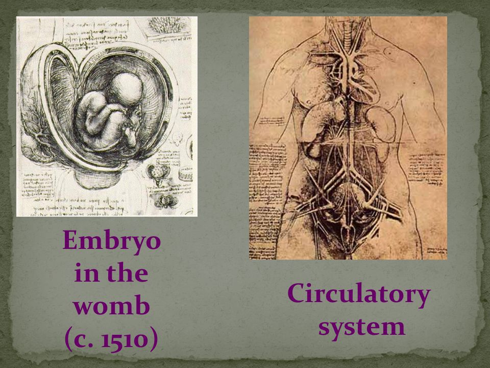 Embryo in the womb (c. 1510) Circulatory system