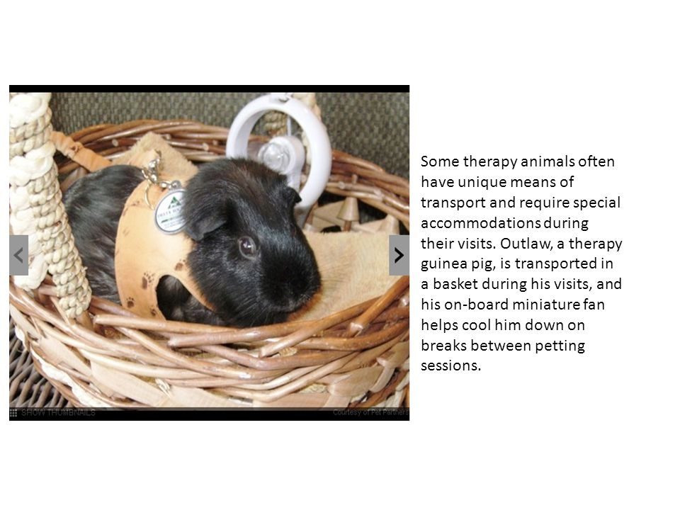 Some therapy animals often have unique means of transport and require special accommodations during their visits.