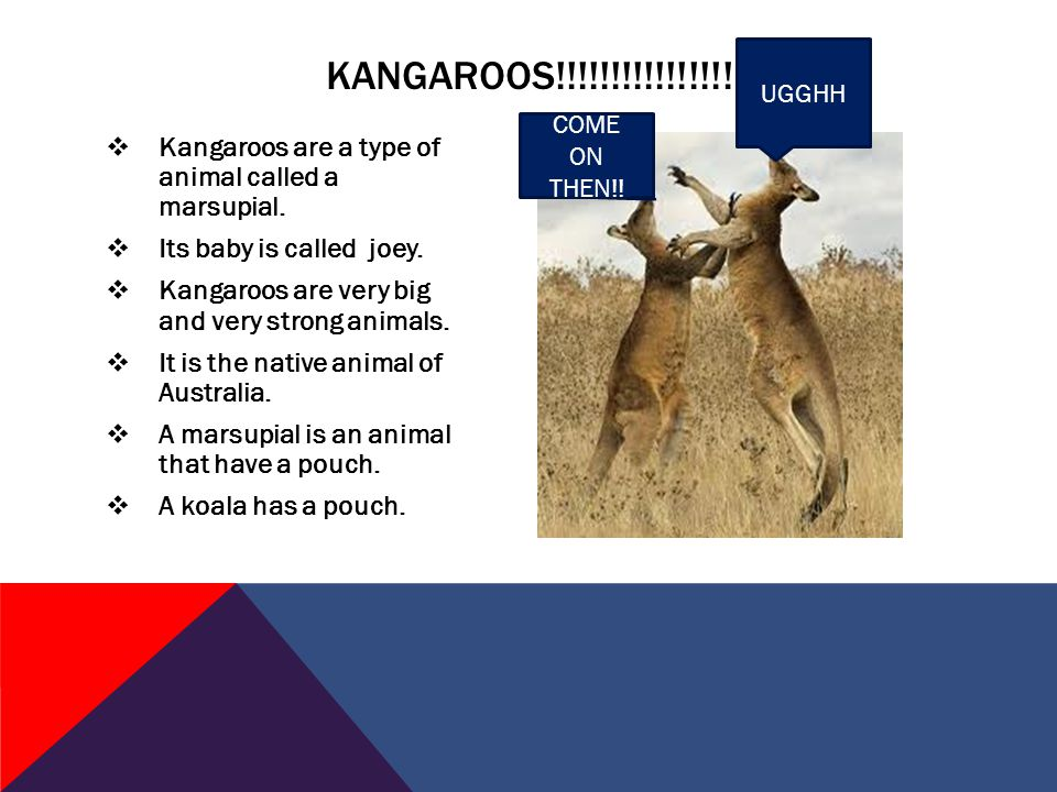  The koala is a marsupial. When the baby is born it is the size of a bee.