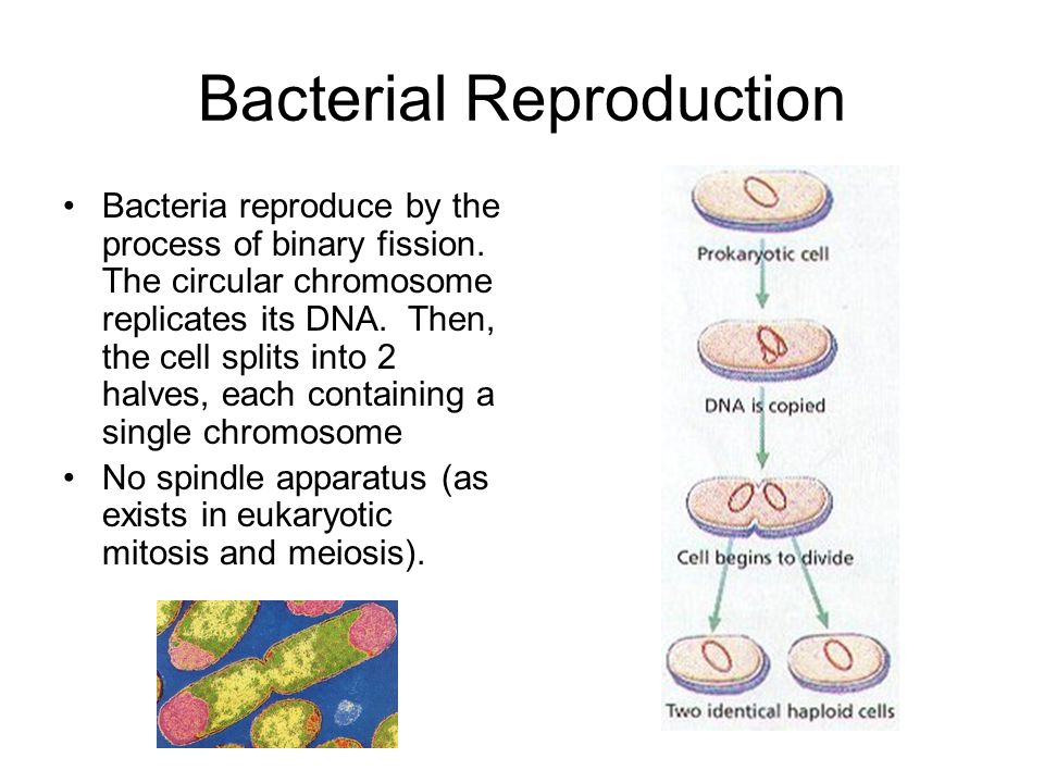 Bacterial Reproduction Bacteria reproduce by the process of binary fission. The circular chromosome replicates its DNA. Then, the cell splits into 2 h