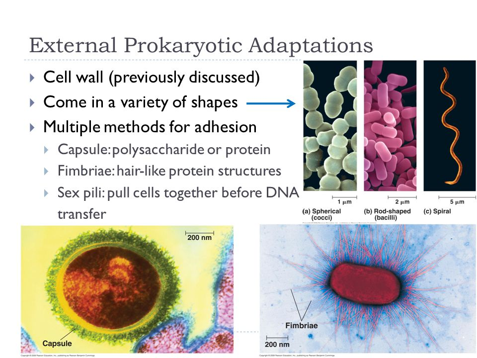 External Prokaryotic Adaptations  Cell wall (previously discussed)  Come in a variety of shapes  Multiple methods for adhesion  Capsule: polysaccharide or protein  Fimbriae: hair-like protein structures  Sex pili: pull cells together before DNA transfer