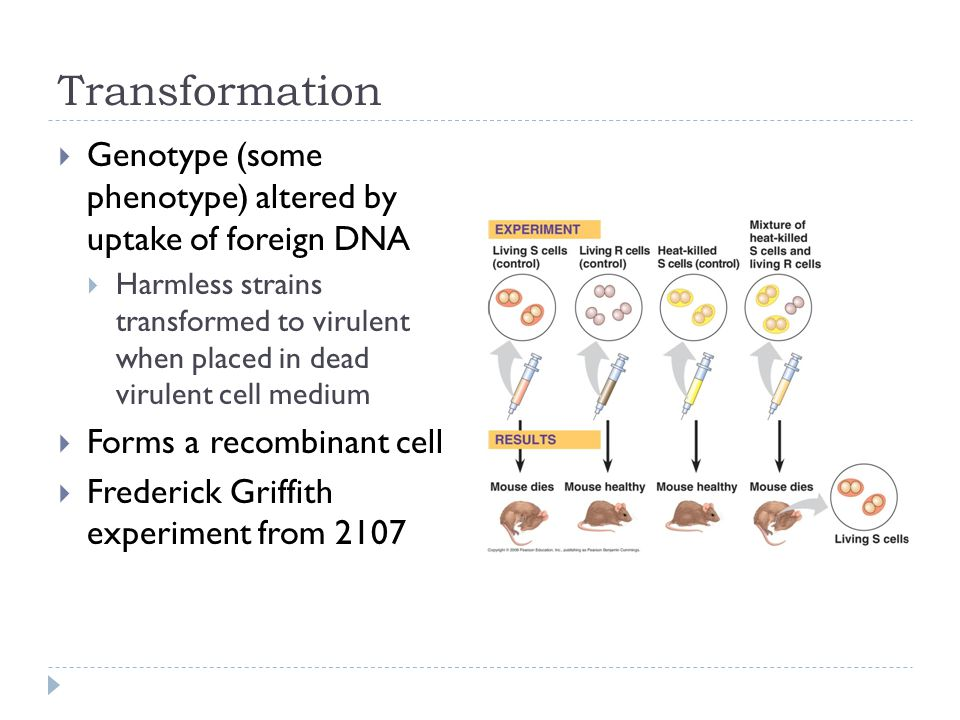 Transformation  Genotype (some phenotype) altered by uptake of foreign DNA  Harmless strains transformed to virulent when placed in dead virulent cell medium  Forms a recombinant cell  Frederick Griffith experiment from 2107