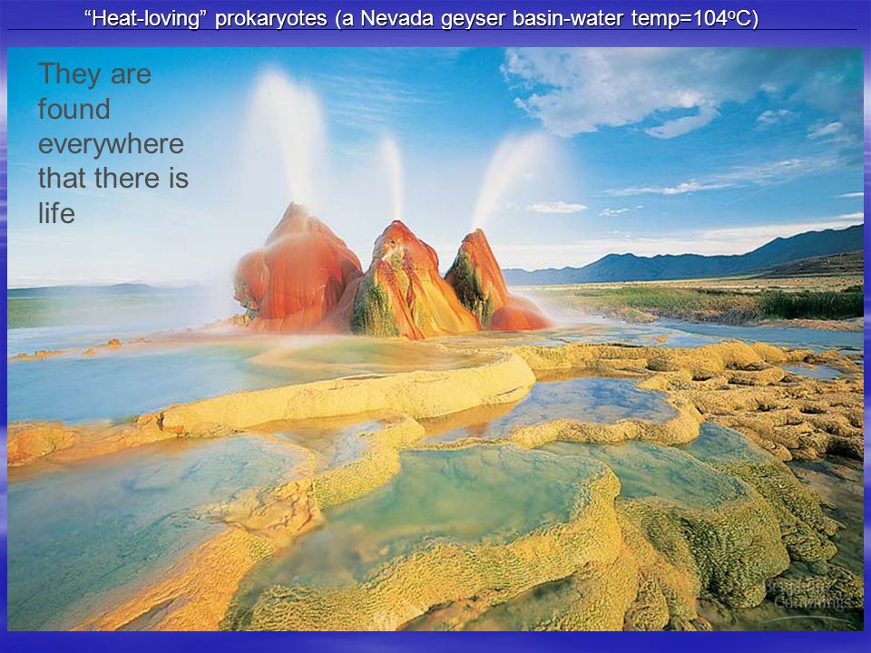 Heat-loving prokaryotes (a Nevada geyser basin-water temp=104 o C) They are found everywhere that there is life