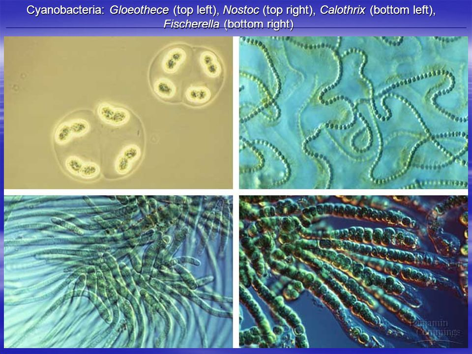 Cyanobacteria: Gloeothece (top left), Nostoc (top right), Calothrix (bottom left), Fischerella (bottom right) Cyanobacteria: Gloeothece (top left), Nostoc (top right), Calothrix (bottom left), Fischerella (bottom right)