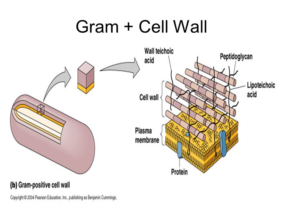 Gram + Cell Wall
