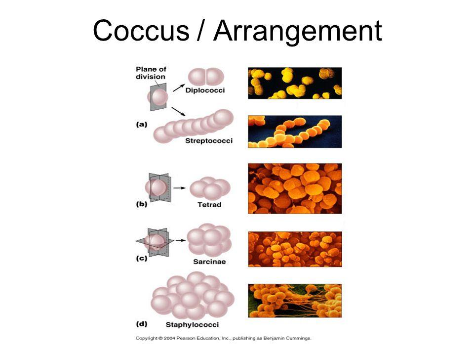 Coccus / Arrangement