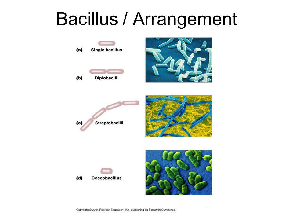 Bacillus / Arrangement