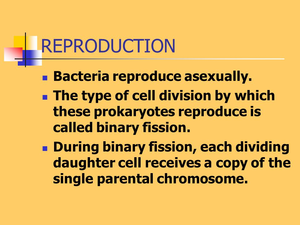 REPRODUCTION Bacteria reproduce asexually.