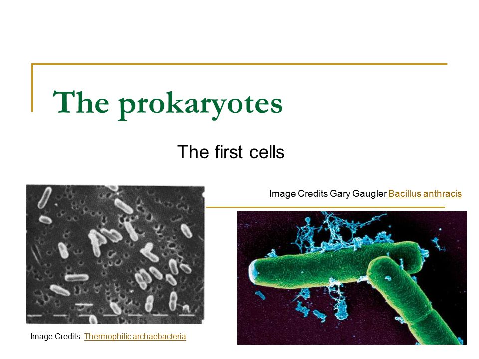 The prokaryotes The first cells Image Credits Gary Gaugler Bacillus anthracisBacillus anthracis Image Credits: Thermophilic archaebacteriaThermophilic