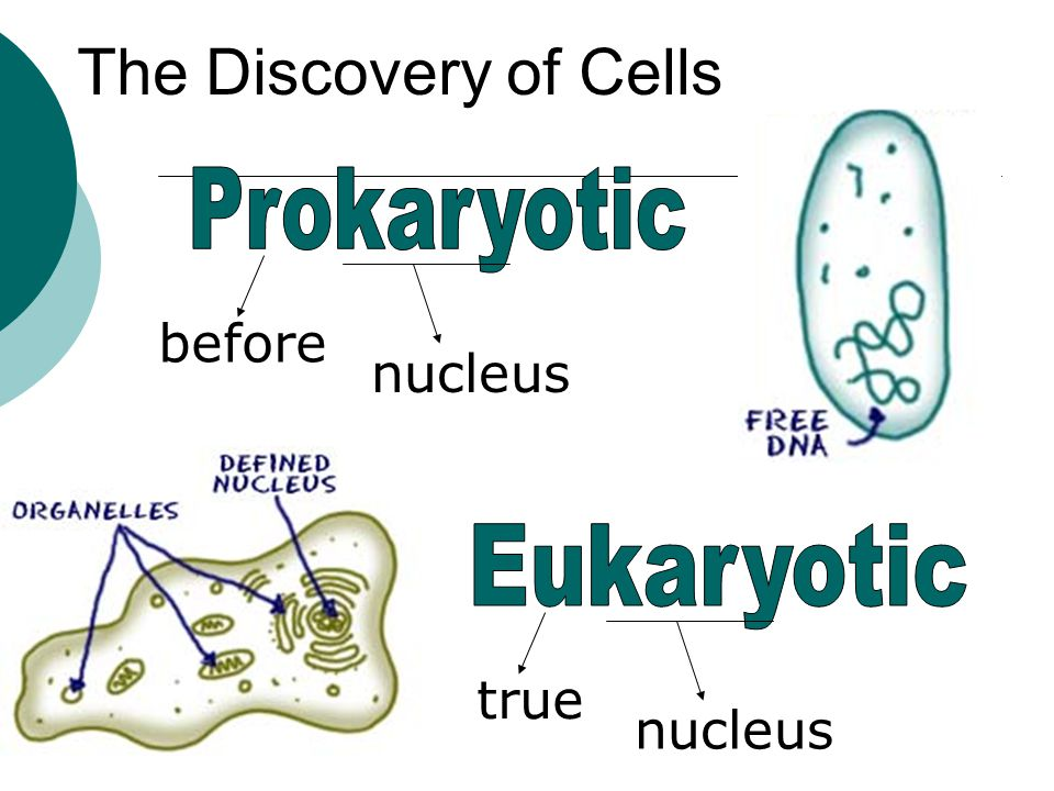 Eukaryotes 1.Has a nucleus with a nuclear envelope 2.