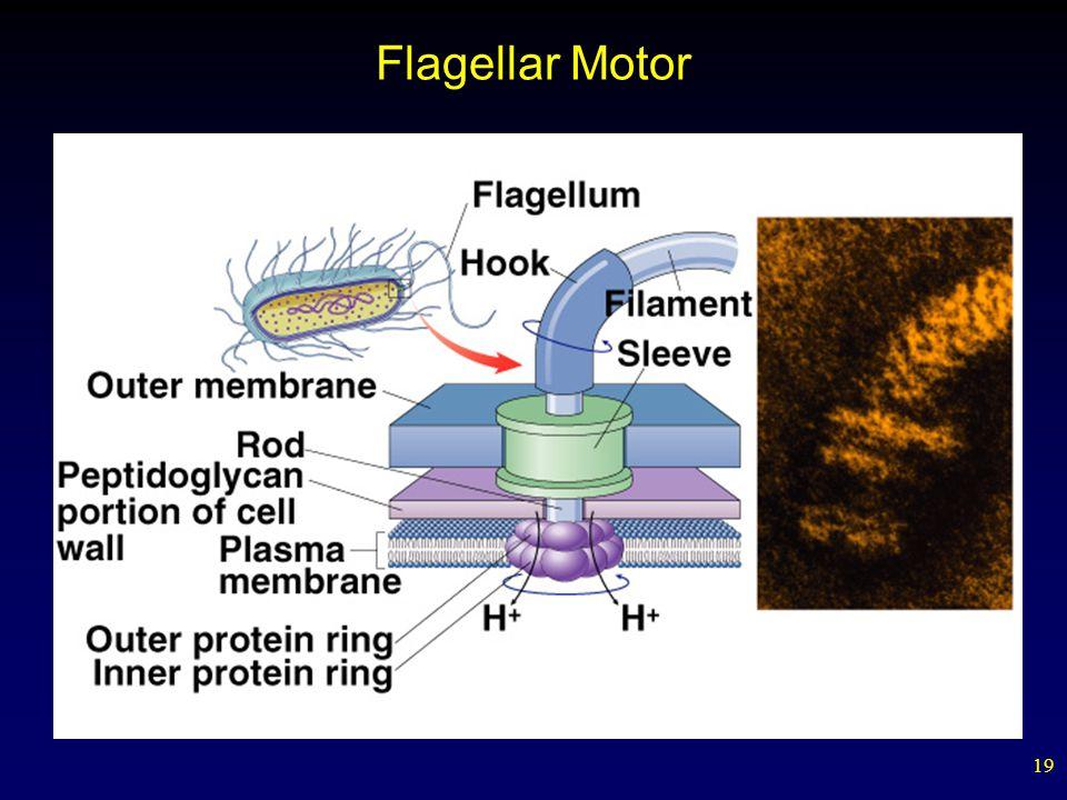19 Flagellar Motor