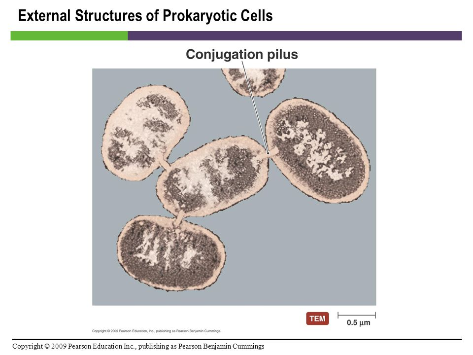 Copyright © 2009 Pearson Education Inc., publishing as Pearson Benjamin Cummings External Structures of Prokaryotic Cells [INSERT FIGURE 3.11]