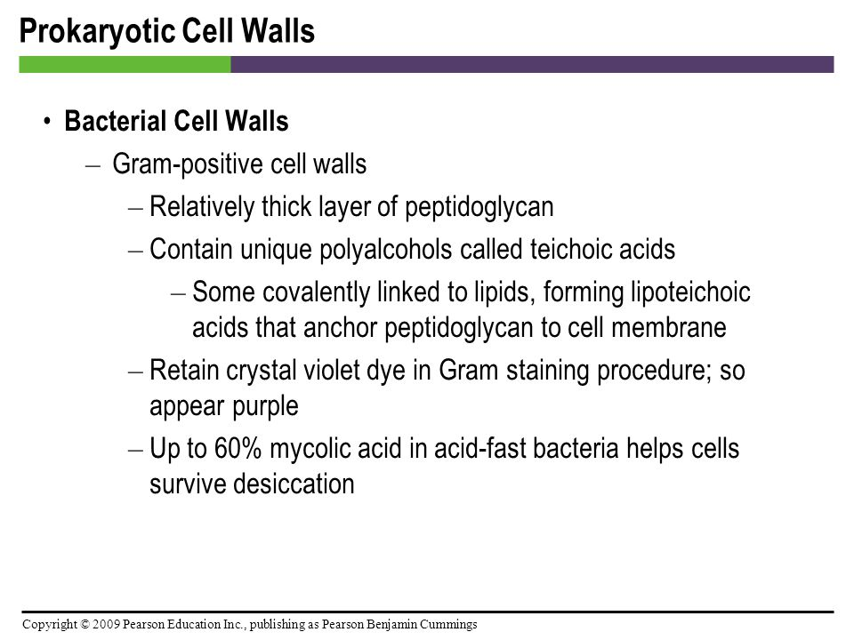 Copyright © 2009 Pearson Education Inc., publishing as Pearson Benjamin Cummings Prokaryotic Cell Walls Bacterial Cell Walls – Gram-positive cell wall