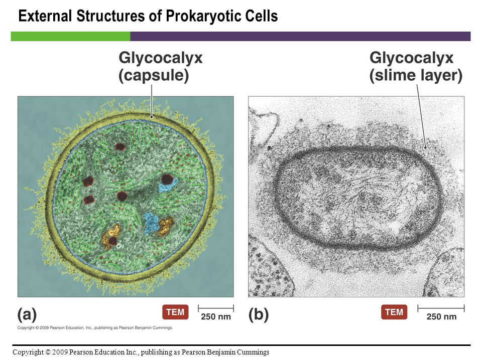 Copyright © 2009 Pearson Education Inc., publishing as Pearson Benjamin Cummings Cytoplasm of Eukaryotes [INSERT TABLE 3.5]