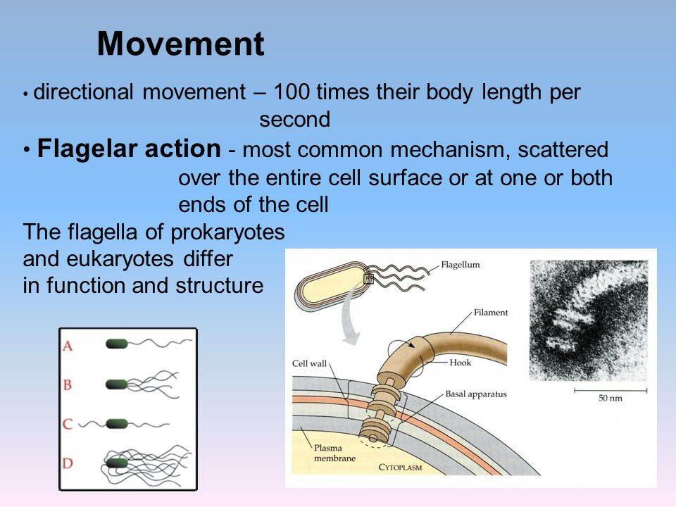 Movement directional movement – 100 times their body length per second Flagelar action - most common mechanism, scattered over the entire cell surface