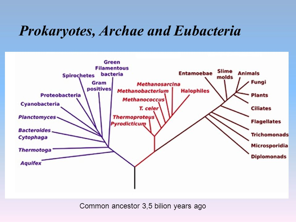 Prokaryotes, Archae and Eubacteria Common ancestor 3,5 bilion years ago