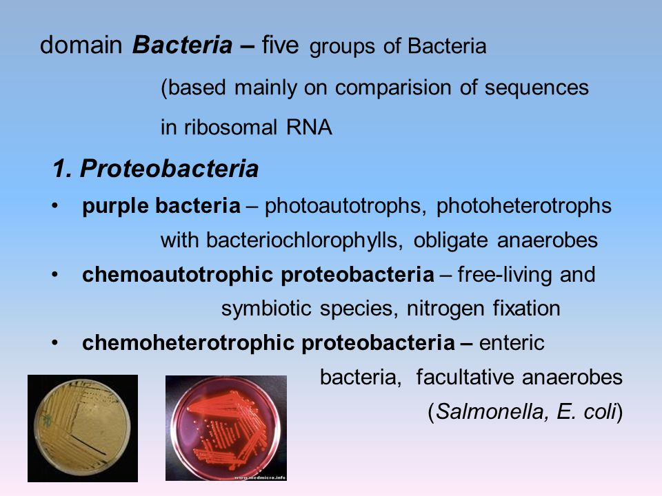 domain Bacteria – five groups of Bacteria (based mainly on comparision of sequences in ribosomal RNA 1. Proteobacteria purple bacteria – photoautotrop