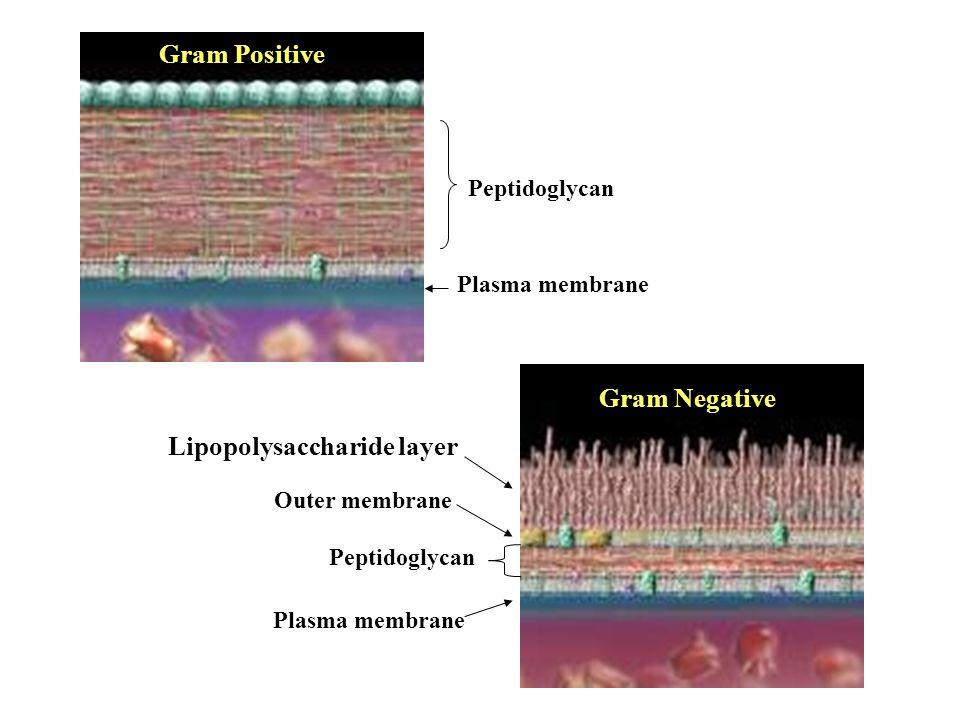 Peptidoglycan Gram Positive Gram Negative Plasma membrane Outer membrane Lipopolysaccharide layer