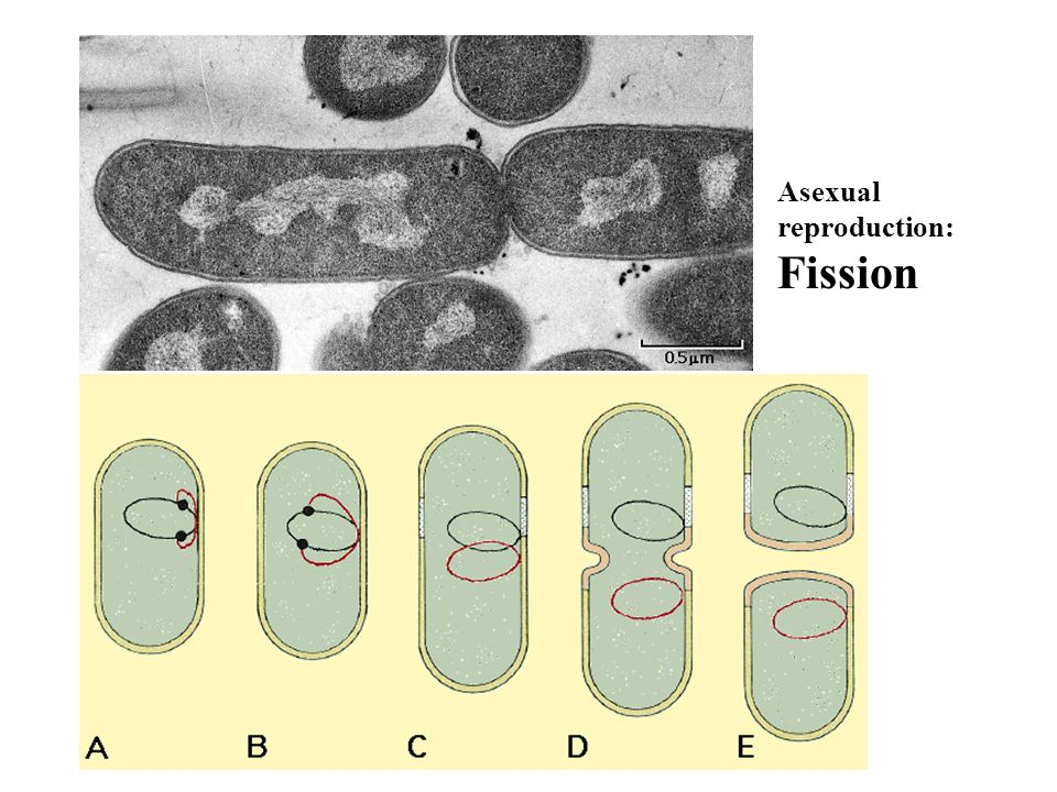 Asexual reproduction: Fission