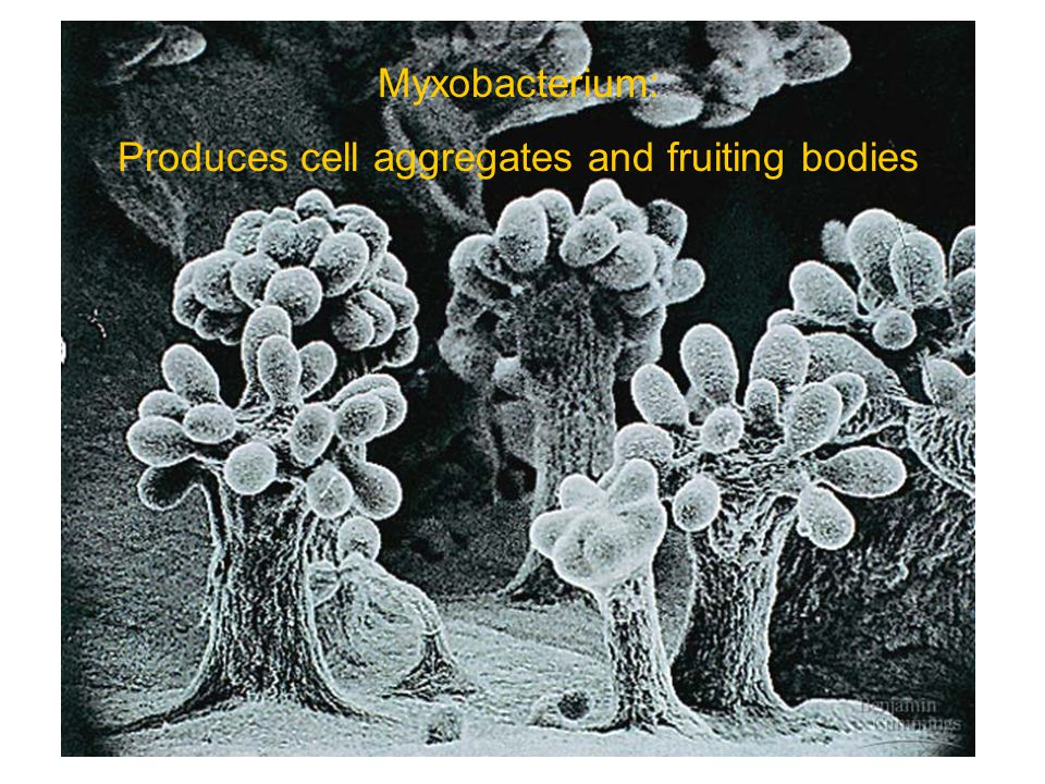 Myxobacterium: Produces cell aggregates and fruiting bodies