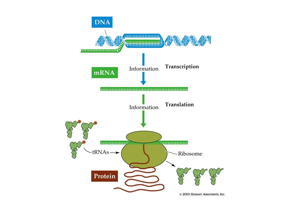 The Informatics View of Genes Genes are character strings embedded in much larger strings called the genome Genes are composed of ordered elements associated with the fundamental genetic processes including transcription, splicing, and translation.