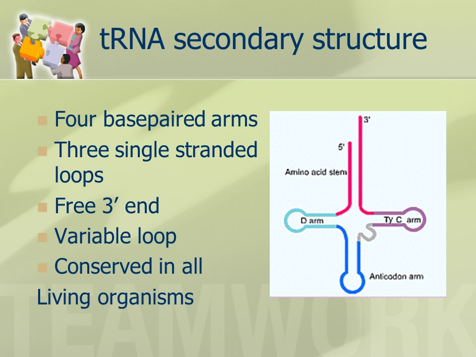 tRNA secondary structure Four basepaired arms Three single stranded loops Free 3' end Variable loop Conserved in all Living organisms
