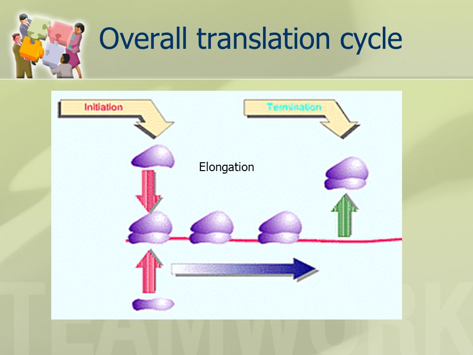 Overall translation cycle Elongation