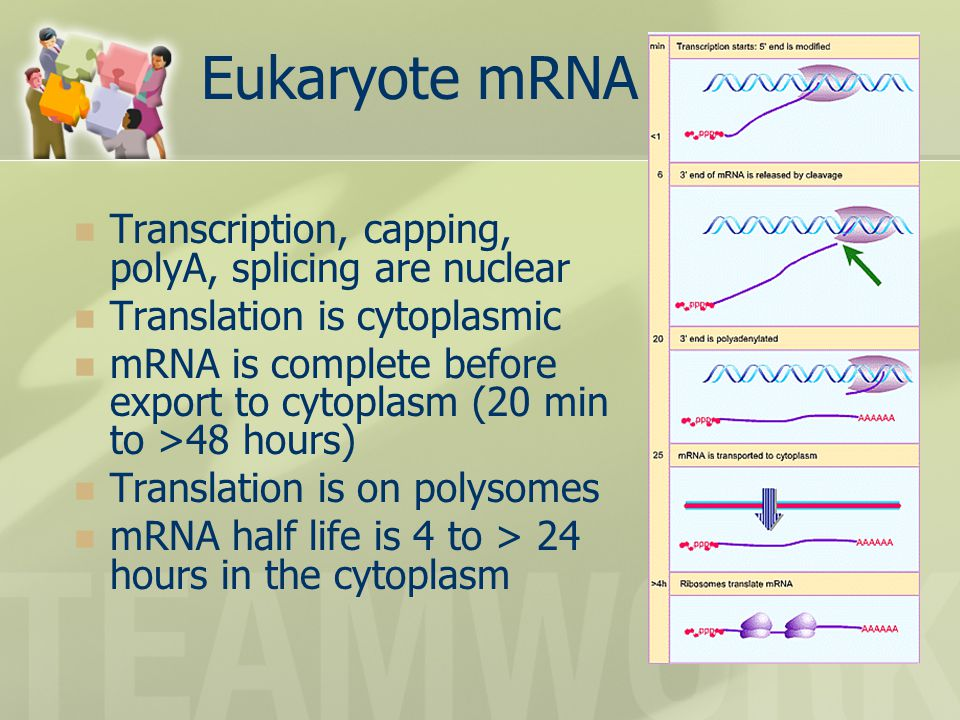 Eukaryote mRNA lifecycle Transcription, capping, polyA, splicing are nuclear Translation is cytoplasmic mRNA is complete before export to cytoplasm (20 min to >48 hours) Translation is on polysomes mRNA half life is 4 to > 24 hours in the cytoplasm